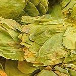 Chmel šistice (Strobilus humuli lupuli)