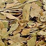 Bříza list (Folium betulae)