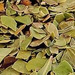 Medvědice list (Folium uvae ursi)