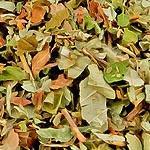 Jahodník list (Folium Fragariae)
